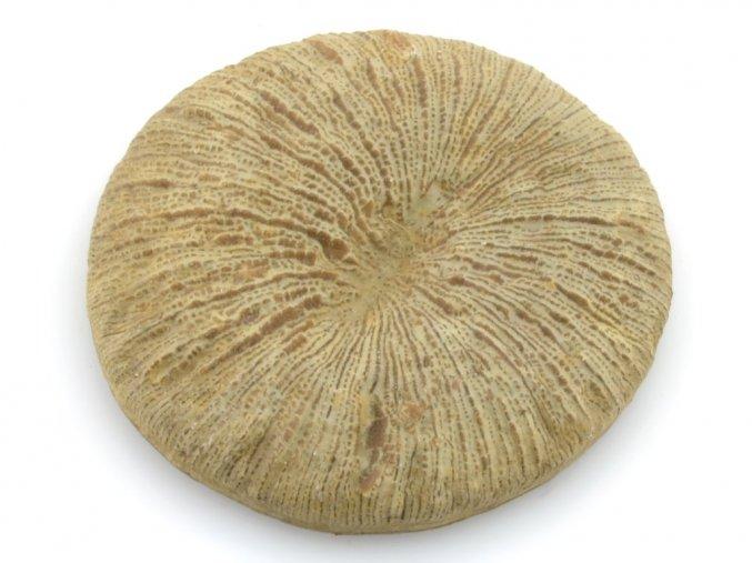 koral Cyclolites 3