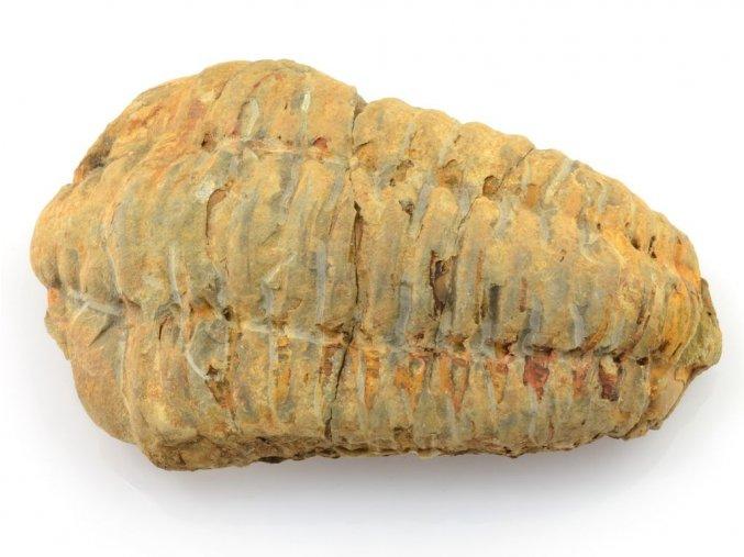 trilobit flexicalymene 5