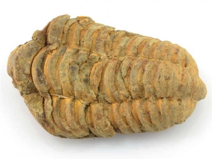 trilobit flexicalymene 10