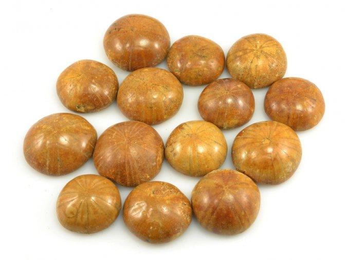 Fosilní ježovka Clypeus ploti 1ks (do 2,5cm)