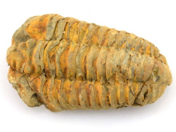 trilobit flexicalymene 22