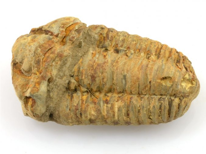 trilobit flexicalymene 25