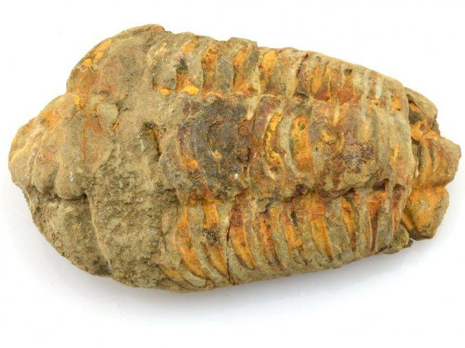 trilobit flexicalymene 36