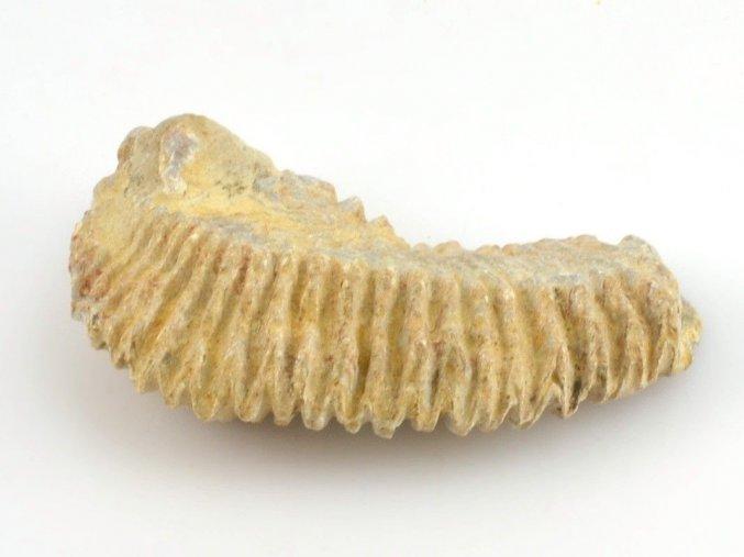 Fosilní ústřice - Alectryonia sp. (10)