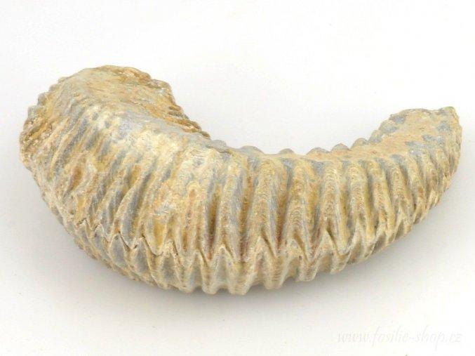 Fosilní ústřice - Alectryonia sp. (15)