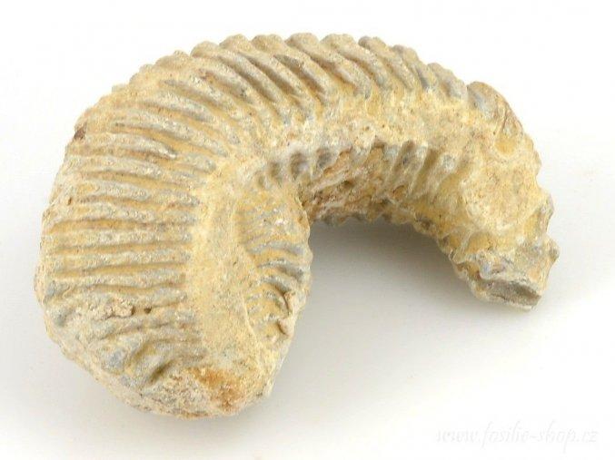 Fosilní ústřice - Alectryonia sp. (16)