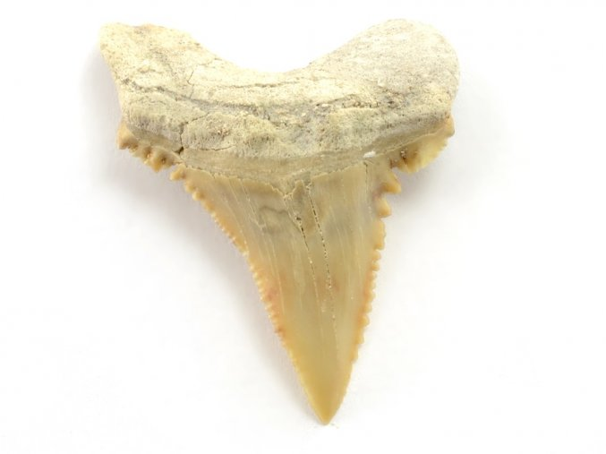 zraloci zub Palaeocarcharodon orientalis 10