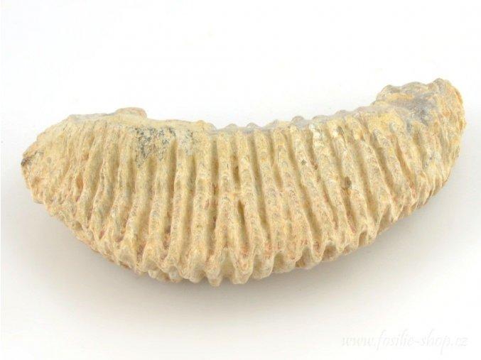 Fosilní ústřice - Alectryonia sp. (17)