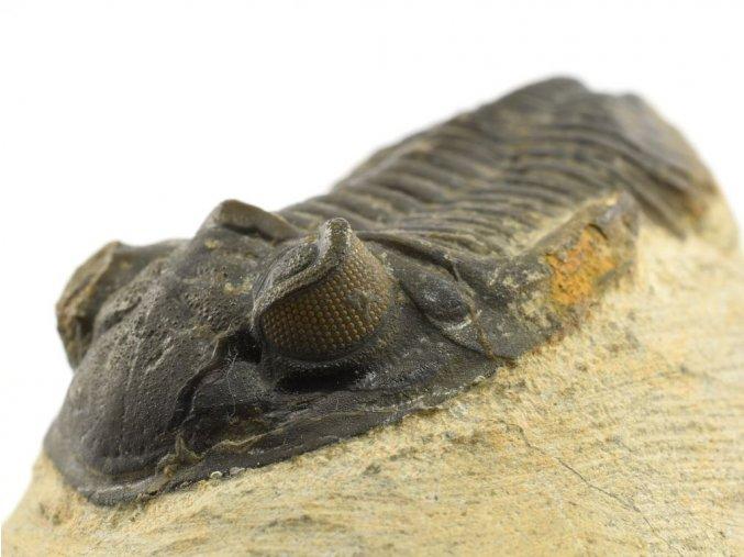 trilobit maroko 12c