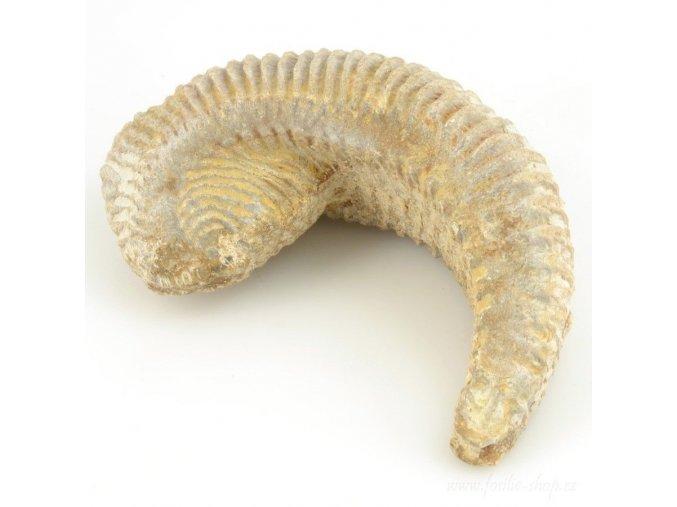 Fosilní ústřice - Alectryonia sp. (21)