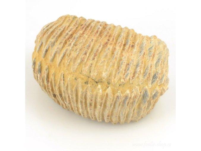Fosilní ústřice - Alectryonia sp. (22)