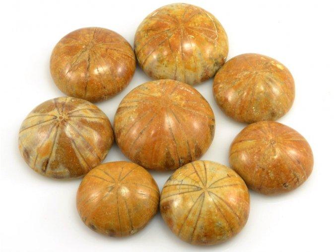 Fosilní ježovka Clypeus ploti 1ks (3-4cm)