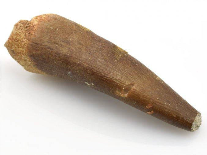 plesiosaurus zub 5b