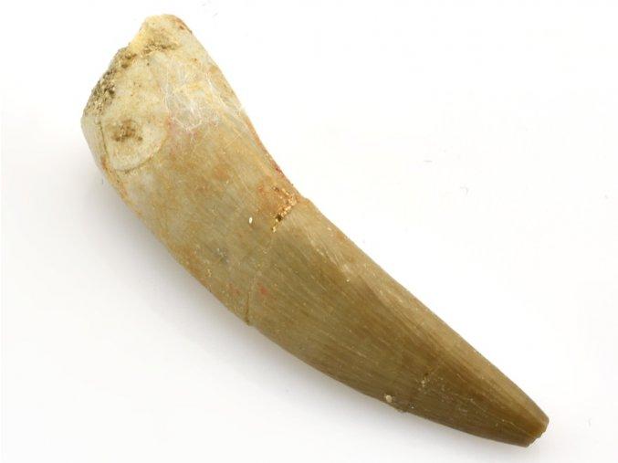 plesiosaurus zub 10