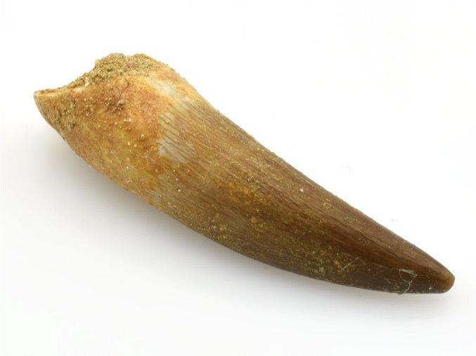 plesiosaurus zub 22