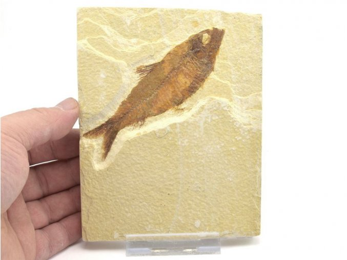 ryba knightia 1