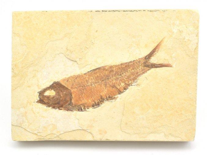 ryba knightia 2