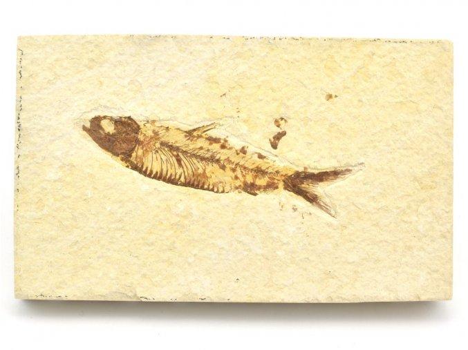 ryba knightia 4