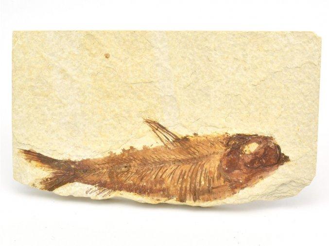 ryba knightia 7