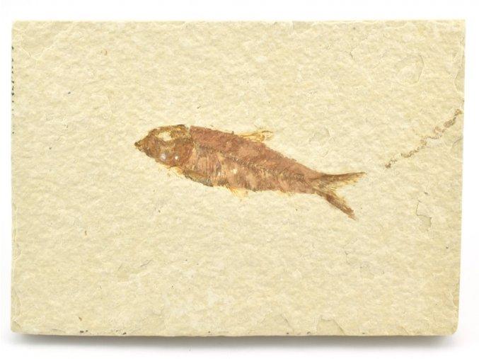 ryba knightia 11