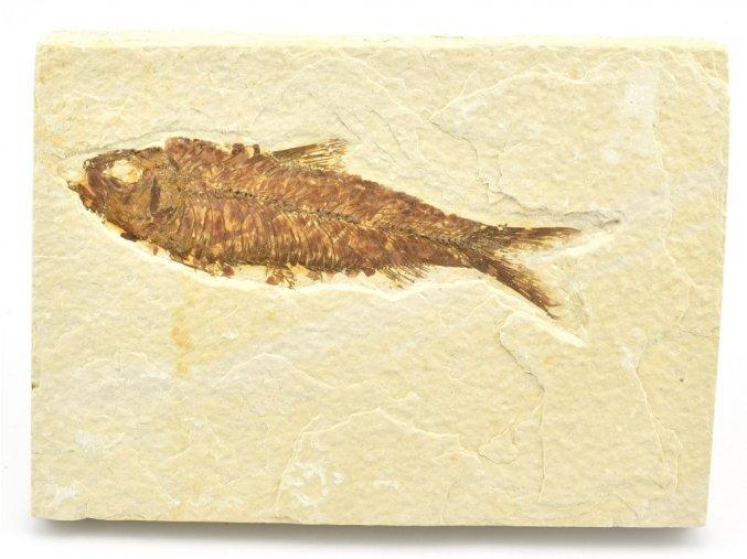 ryba knightia 12