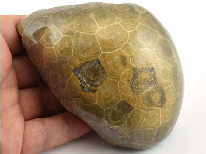 koral hexagonaria 9