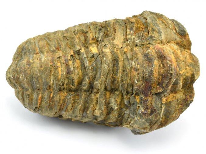 trilobit flexicalymene 15