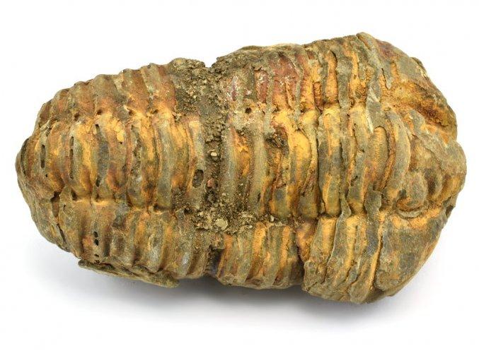 trilobit flexicalymene 16