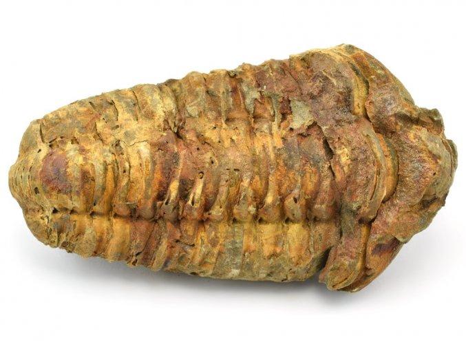 trilobit flexicalymene 25