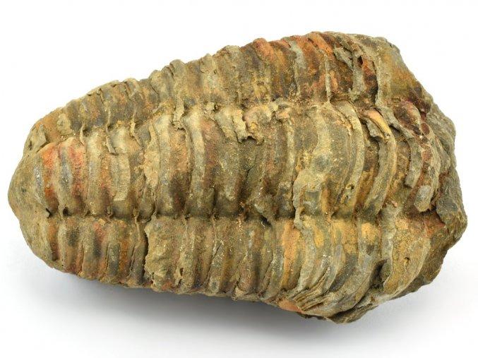 trilobit flexicalymene 30