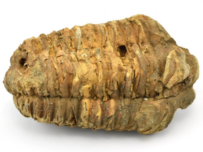 trilobit flexicalymene 37