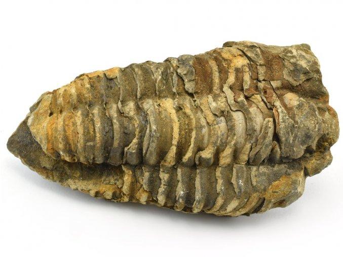 trilobit flexicalymene 40