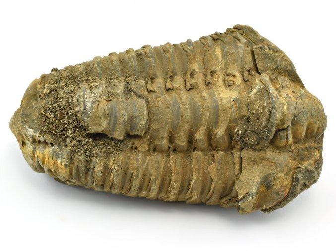 trilobit flexicalymene 41