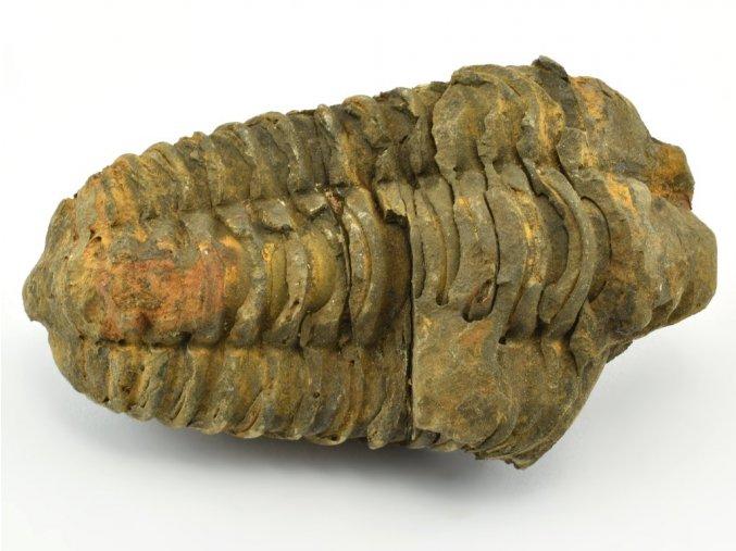 trilobit flexicalymene 46