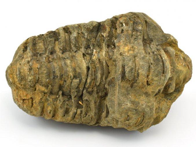 trilobit flexicalymene 48