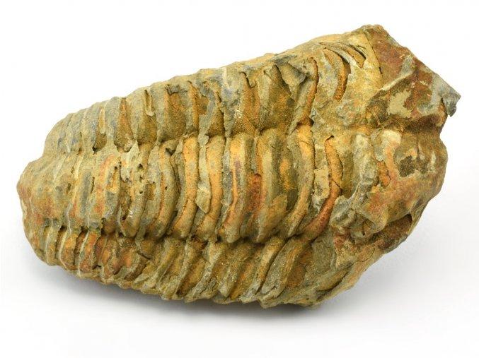 trilobit flexicalymene 49
