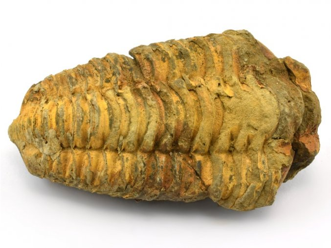 trilobit flexicalymene 51