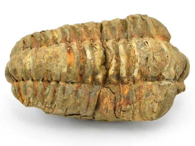 trilobit flexicalymene 52