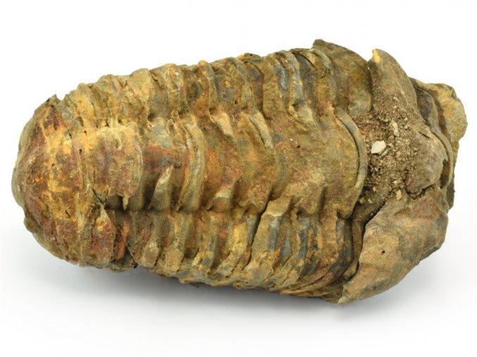 trilobit flexicalymene 56