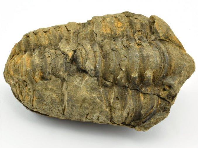 trilobit flexicalymene 57