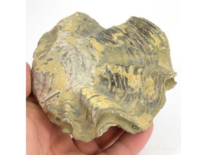 Fosilní ústřice Nicaisolopha nicasei (5)