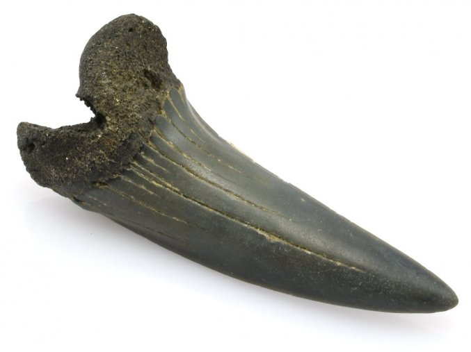 zraloci zub Isurus hastalis 9