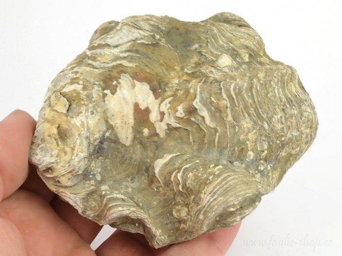 Fosilní ústřice Nicaisolopha nicasei (10)