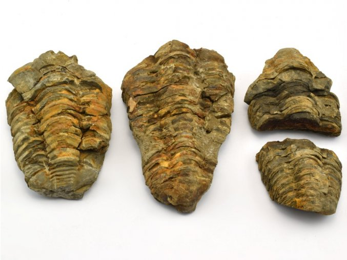 trilobit 3ks 3