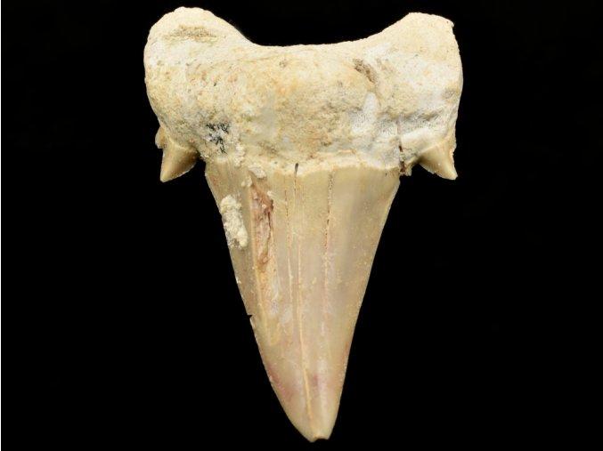 zraloci zub otodus maroko 1
