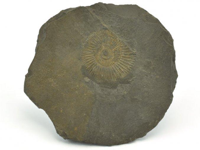 amonit Dactyloceras Holzmaden 9