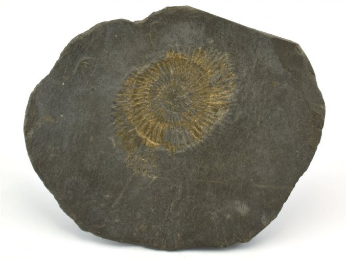 amonit Dactyloceras Holzmaden 12