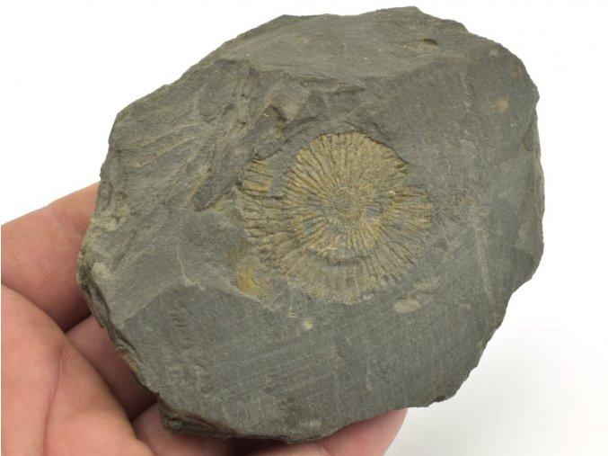 amonit Dactyloceras Holzmaden 13a