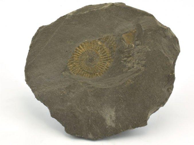 amonit Dactyloceras Holzmaden 14