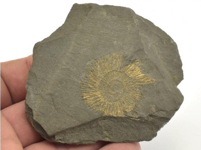 amonit Dactyloceras Holzmaden 18